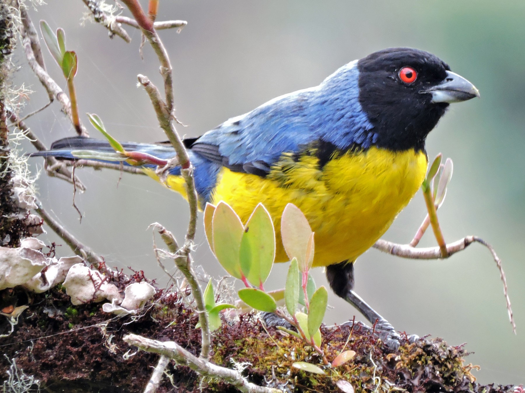Hooded Mountain-Tanager - Edwin Munera