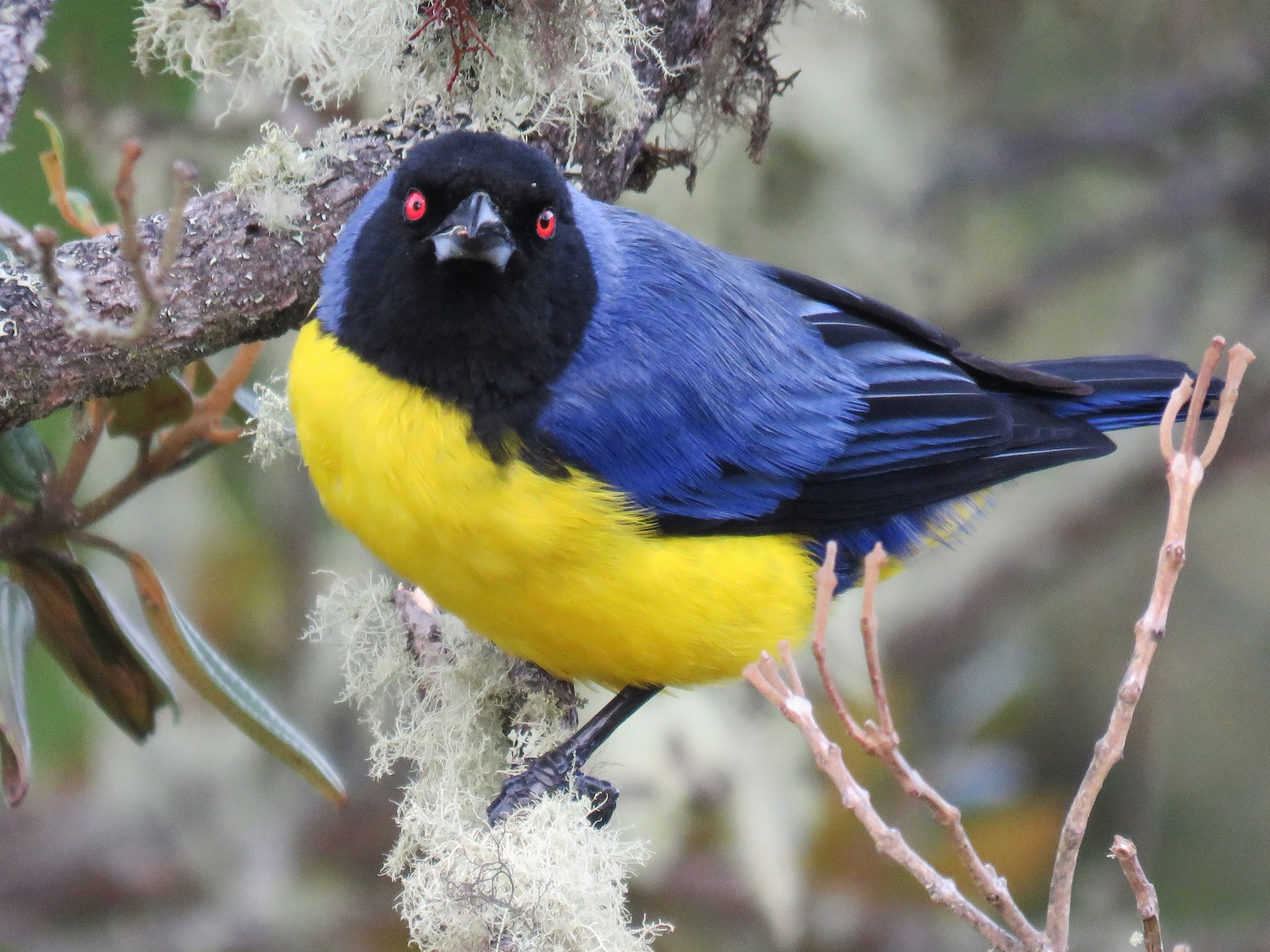 Hooded Mountain-Tanager - Mario Uribe