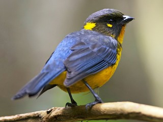 - Lacrimose Mountain-Tanager