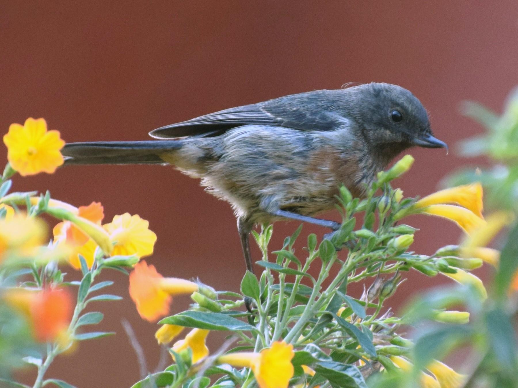 Black-throated Flowerpiercer - irina shulgina