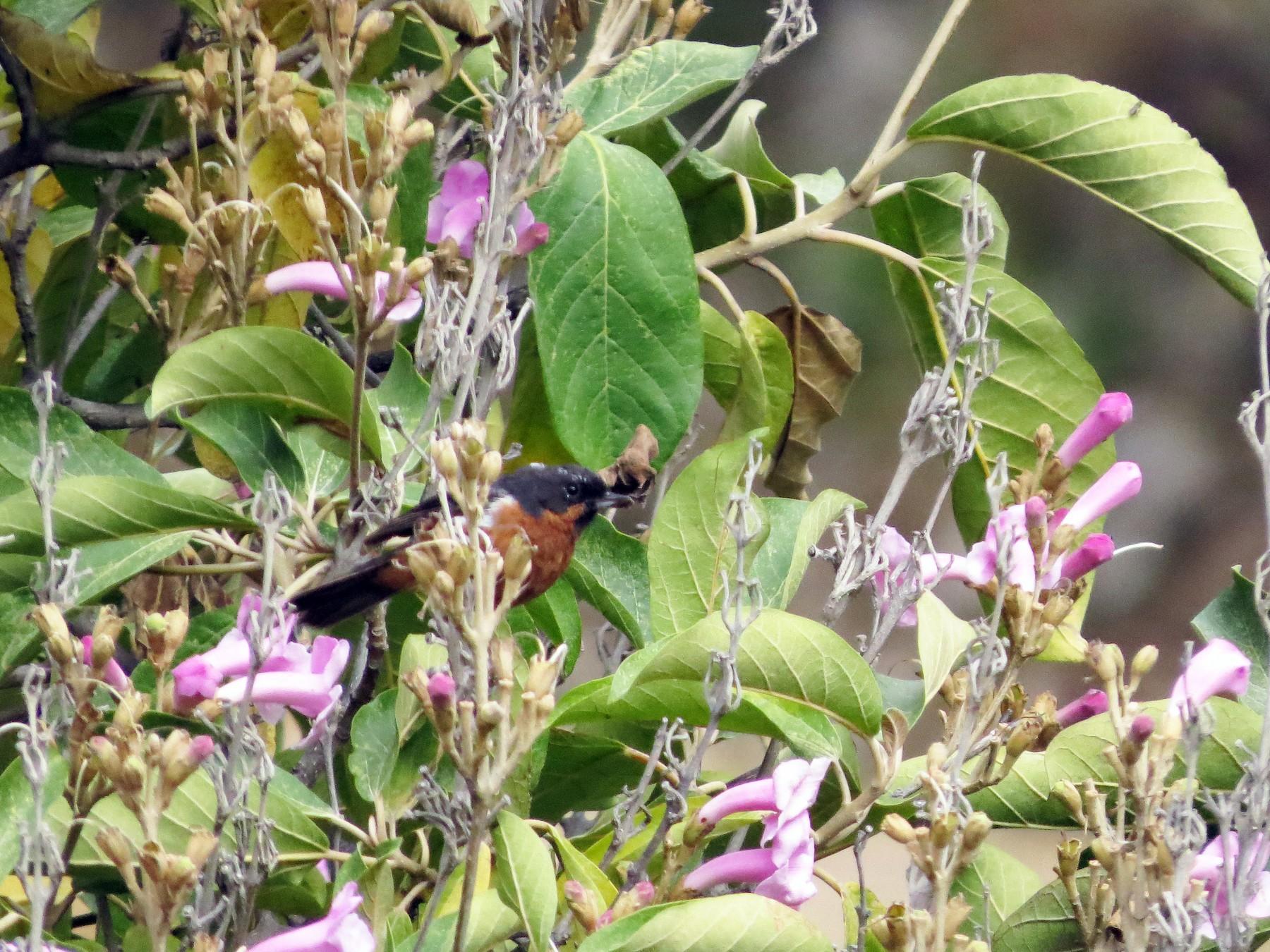 Black-throated Flowerpiercer - Manuel Roncal-Rabanal