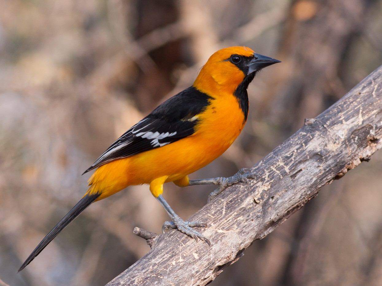Altamira Oriole - Tom Johnson