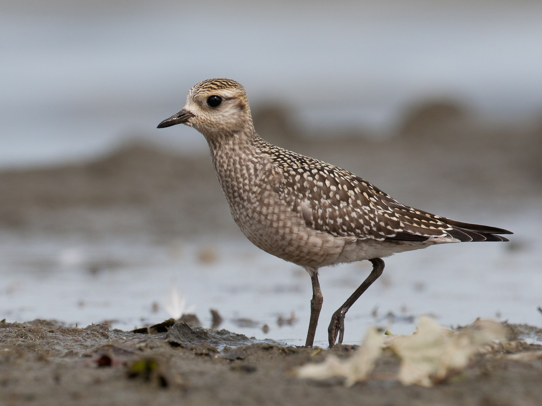 American Golden-Plover - Chris Wood