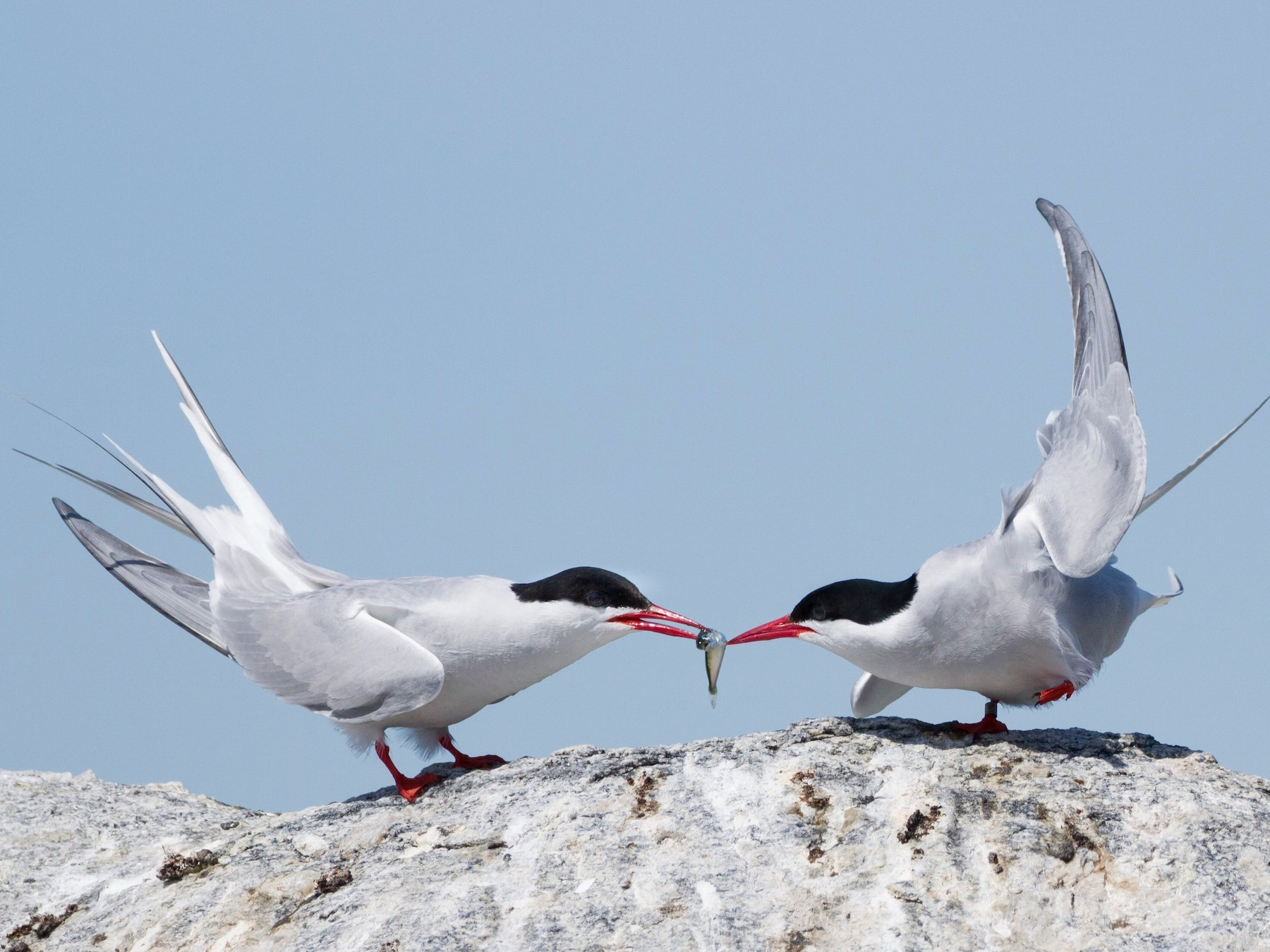 Arctic Tern - Oscar Wilhelmy