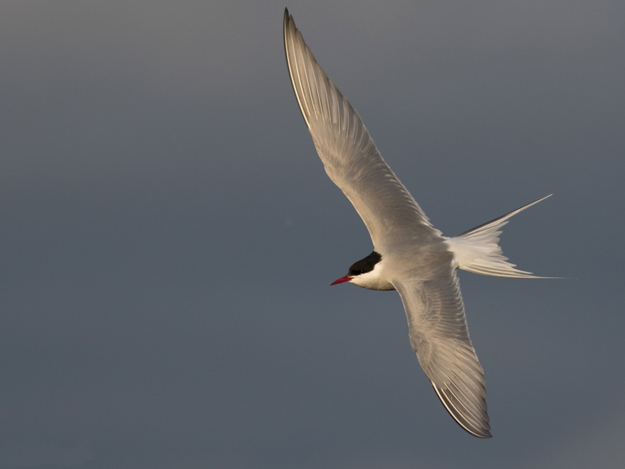 Arctic Tern - Tom Johnson