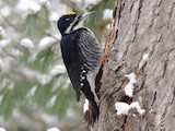 Black-backed Woodpecker