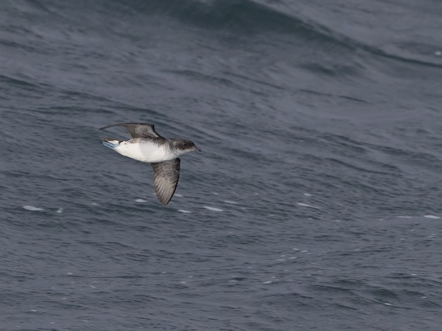 Common Diving-Petrel