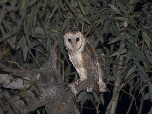 Barn Owl (Eastern)
