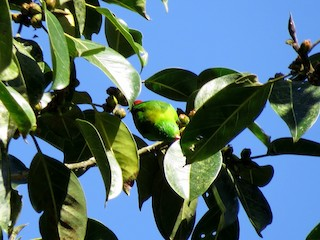 - Yellow-throated Hanging-Parrot