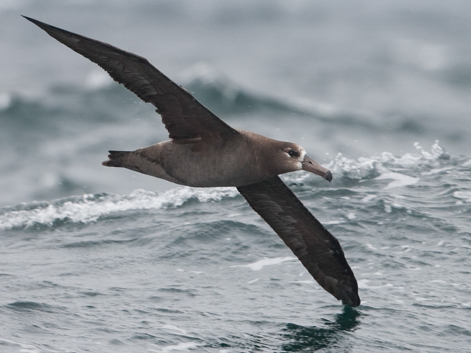 Black-footed Albatross - Brian Sullivan