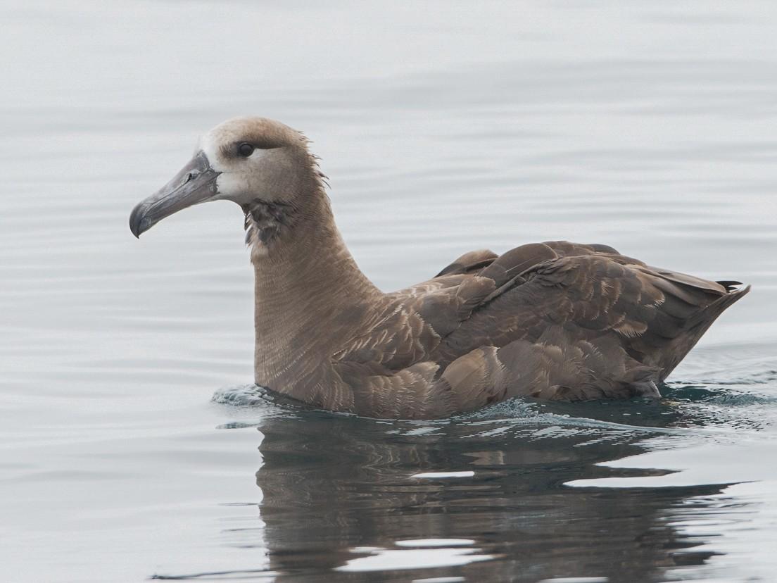 Black-footed Albatross - Brian Sullivan