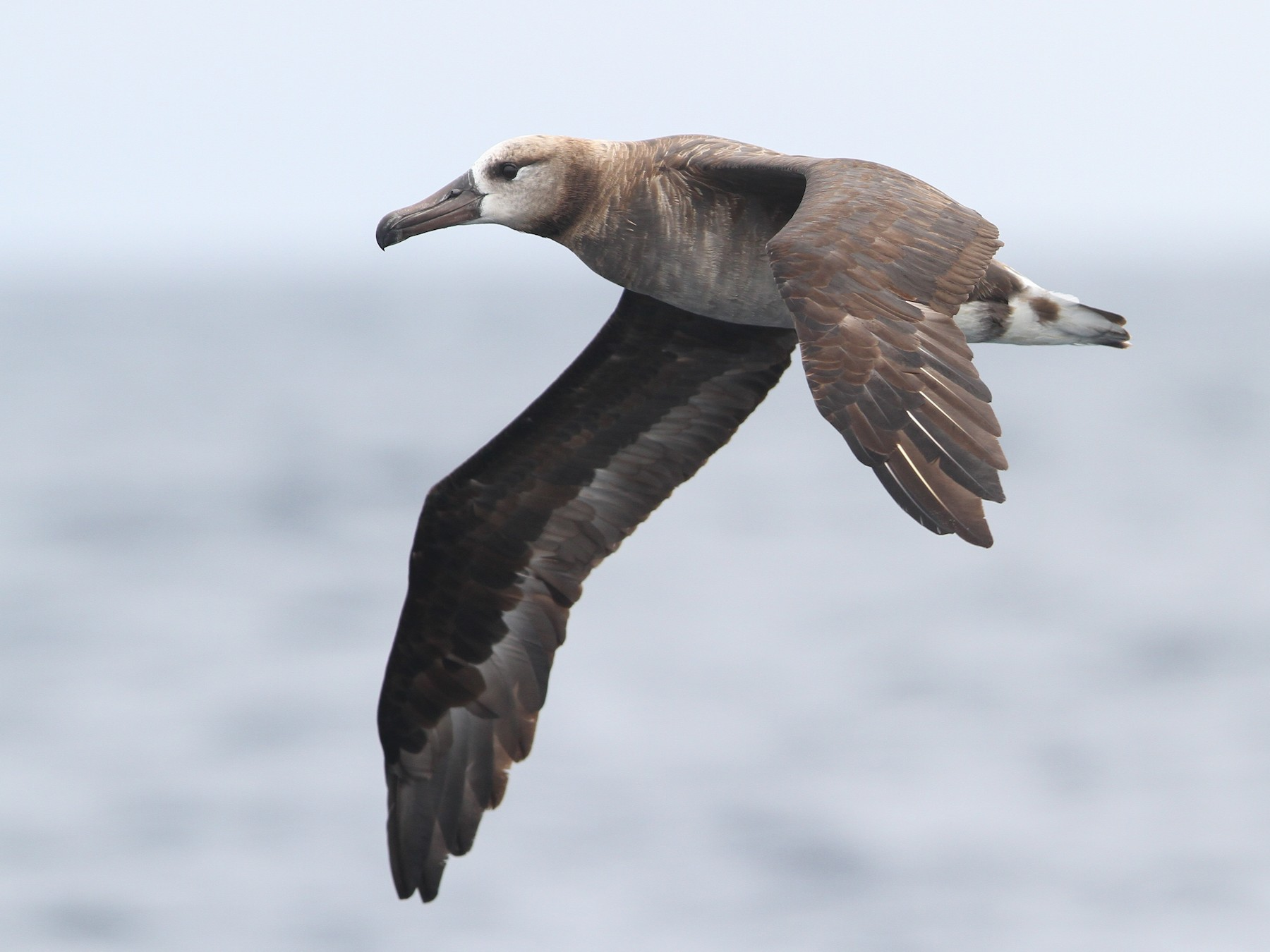 Black-footed Albatross - Christoph Moning