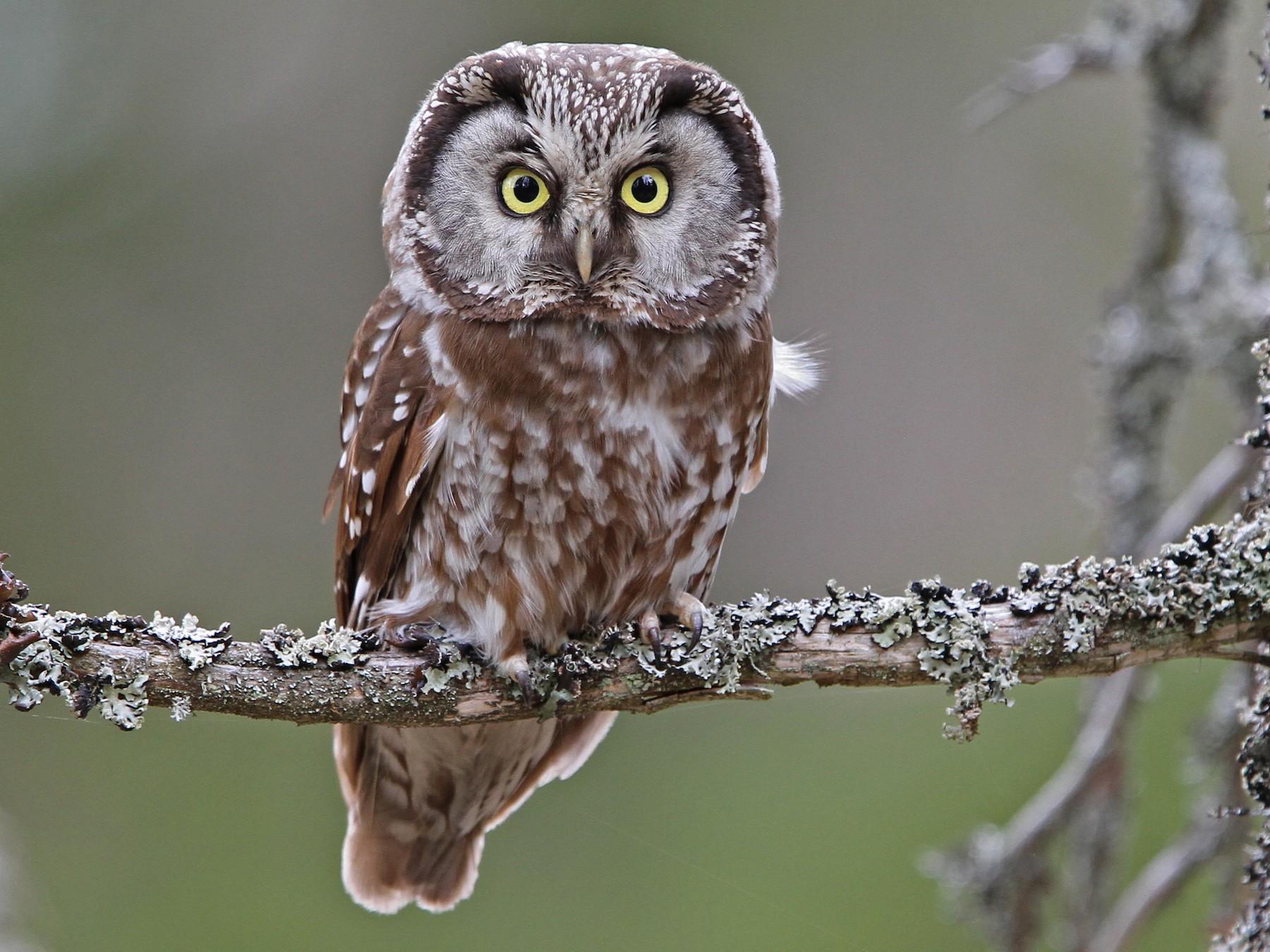 Boreal Owl - eBird