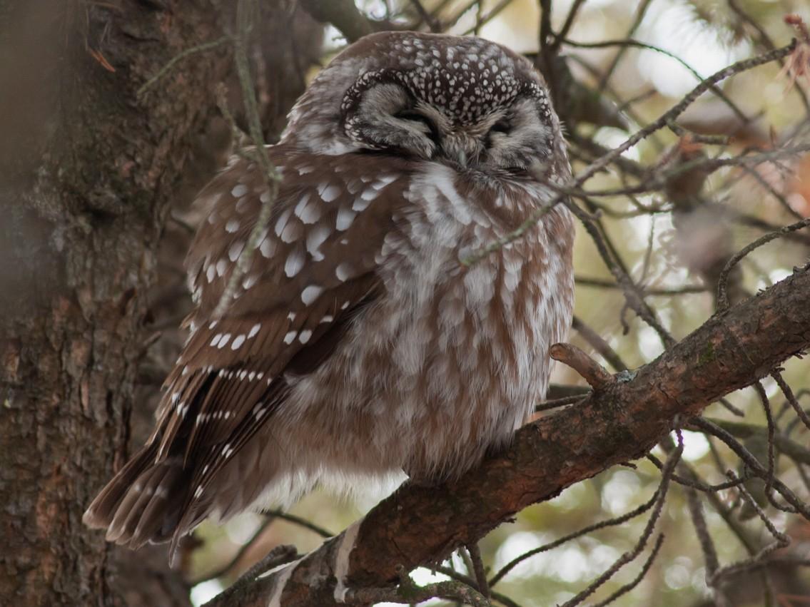 Boreal Owl - Tom Johnson