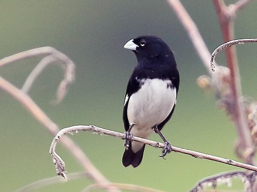 Black-and-white Seedeater - David Barton
