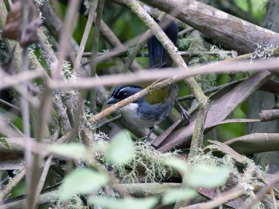 Gray-browed Brushfinch - Michael Todd