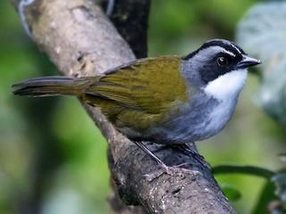 - Gray-browed Brushfinch