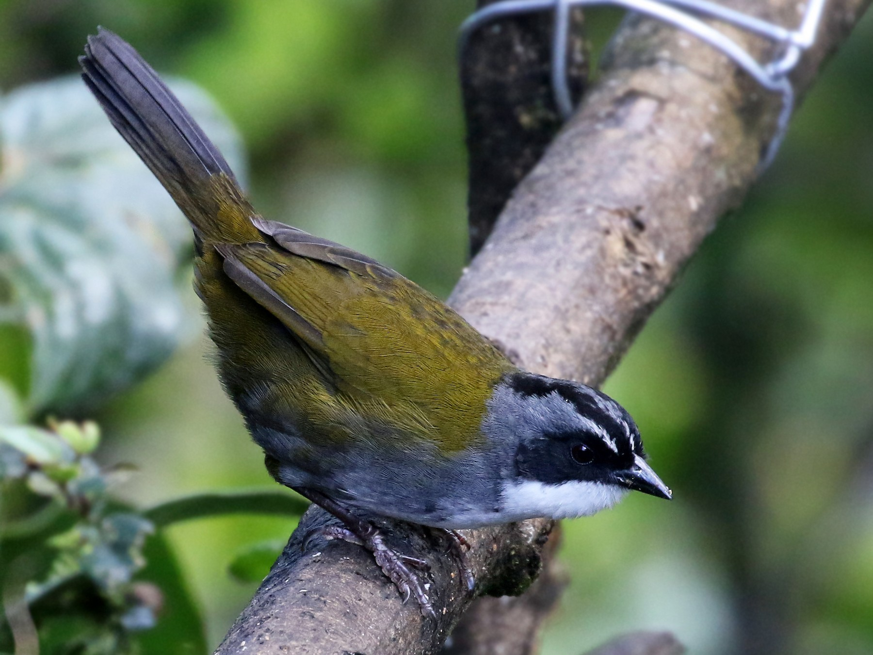 Gray-browed Brushfinch - Andrew Spencer