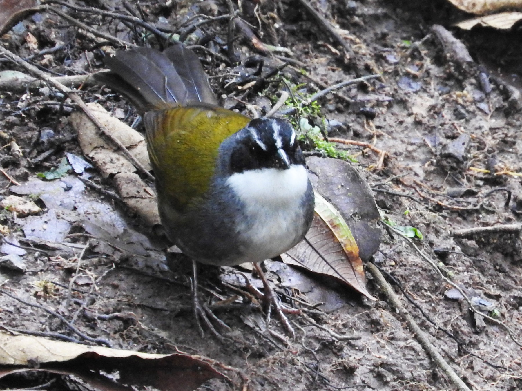 Gray-browed Brushfinch - Aaron Hulsey