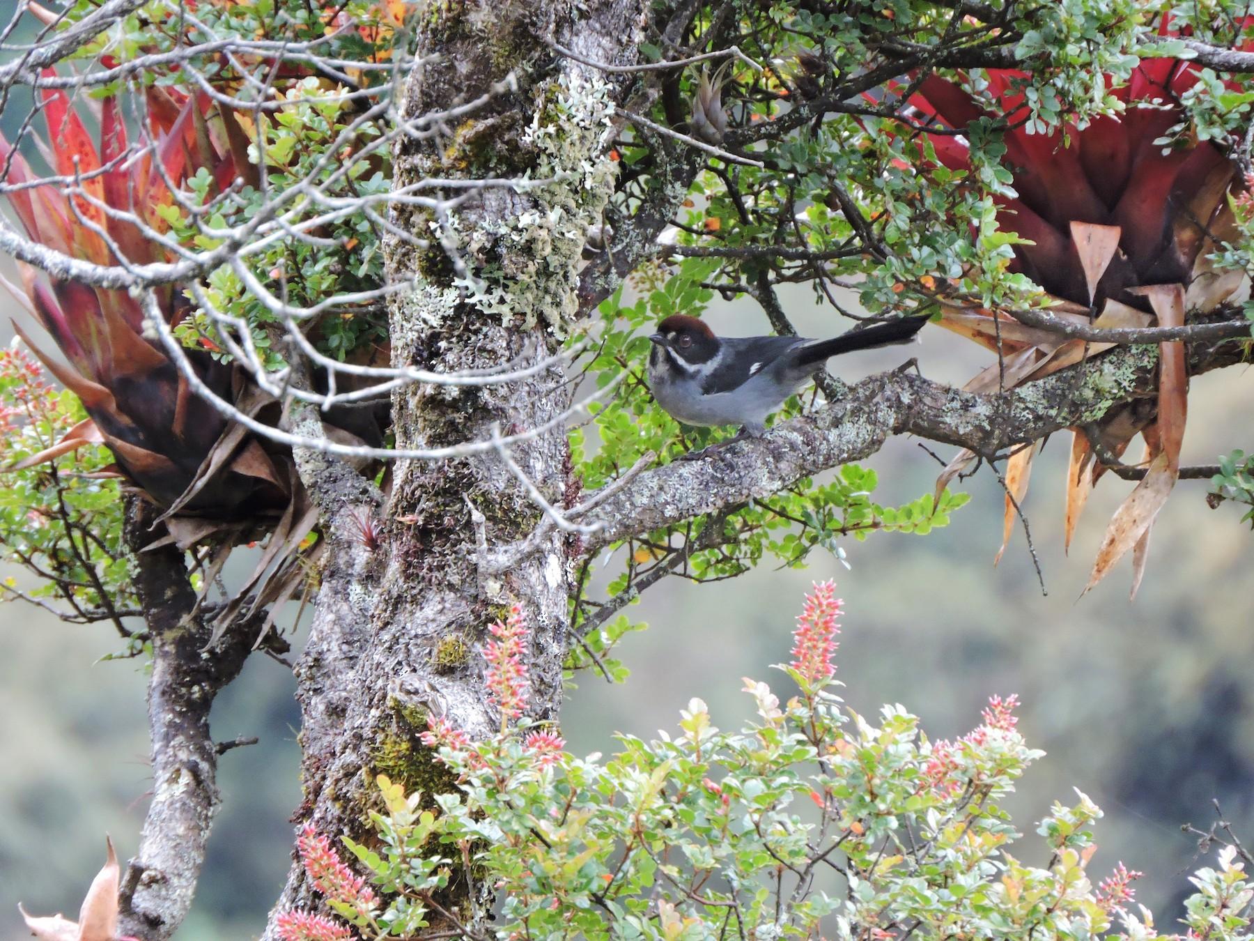Slaty Brushfinch - Grupo Naturalista  Aves del Norte