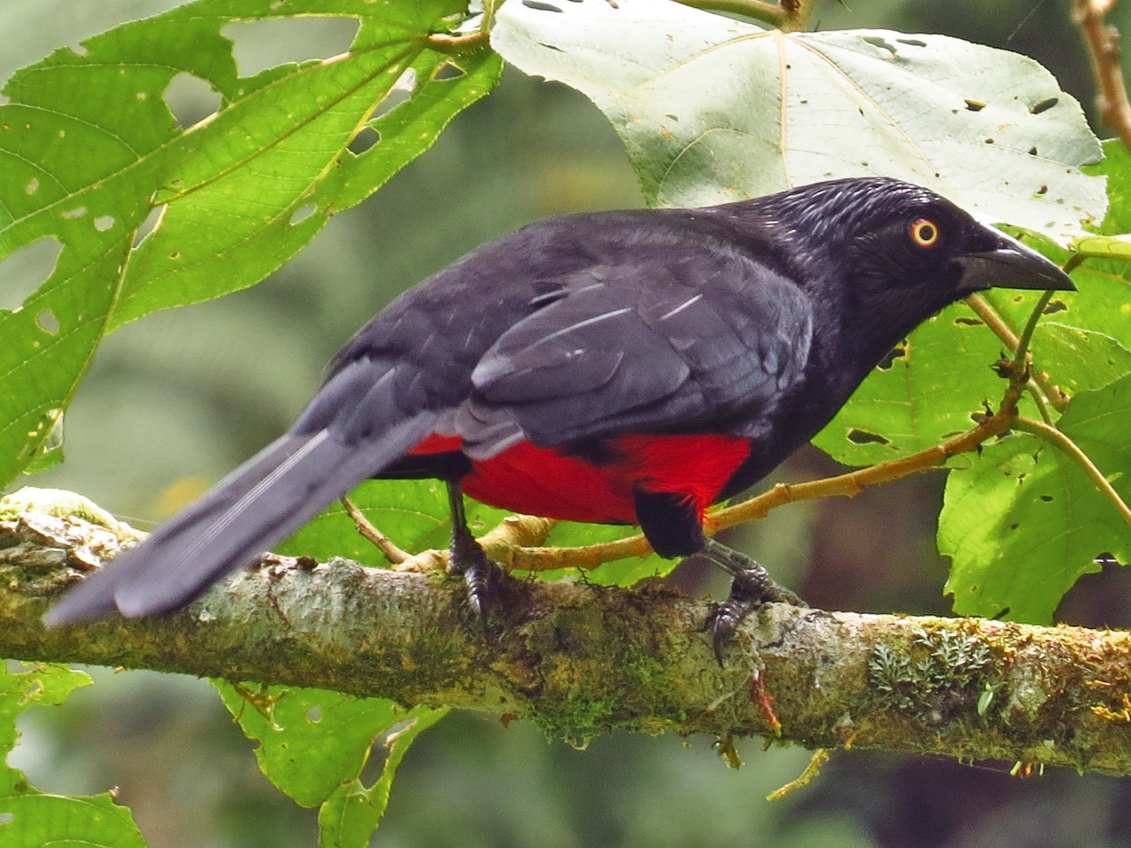 Red-bellied Grackle - Jorge Muñoz García   CAQUETA BIRDING
