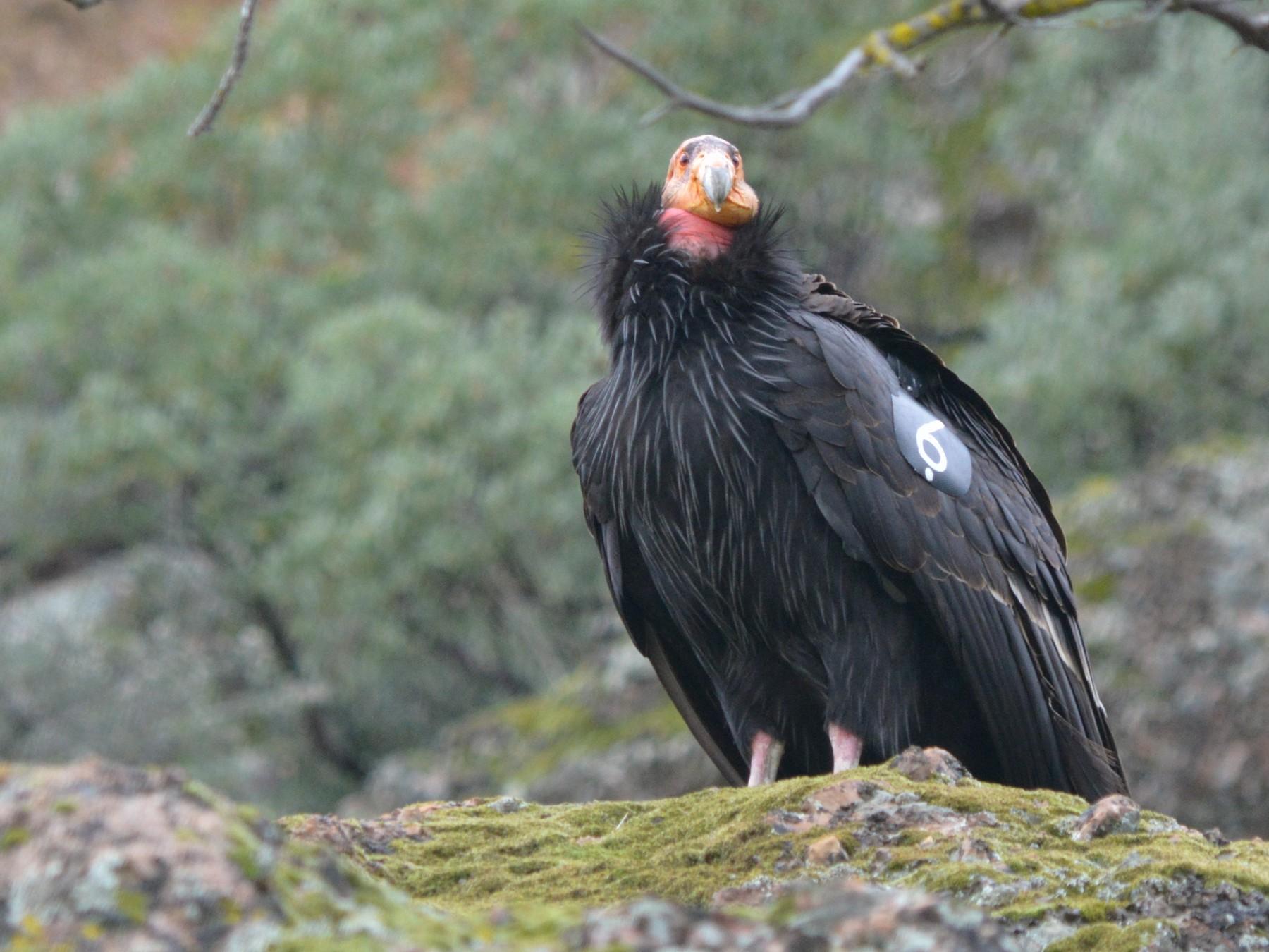 California Condor - Todd Plummer