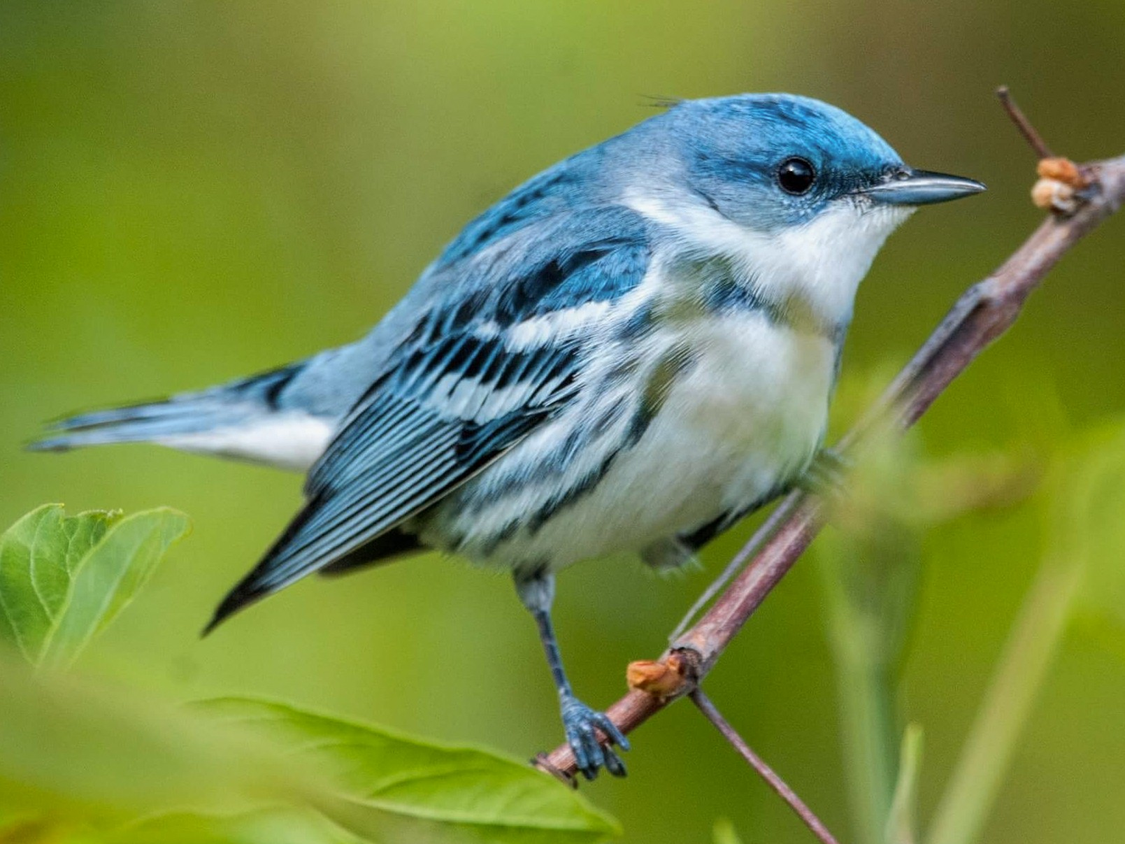 Cerulean Warbler - Andrew Simon