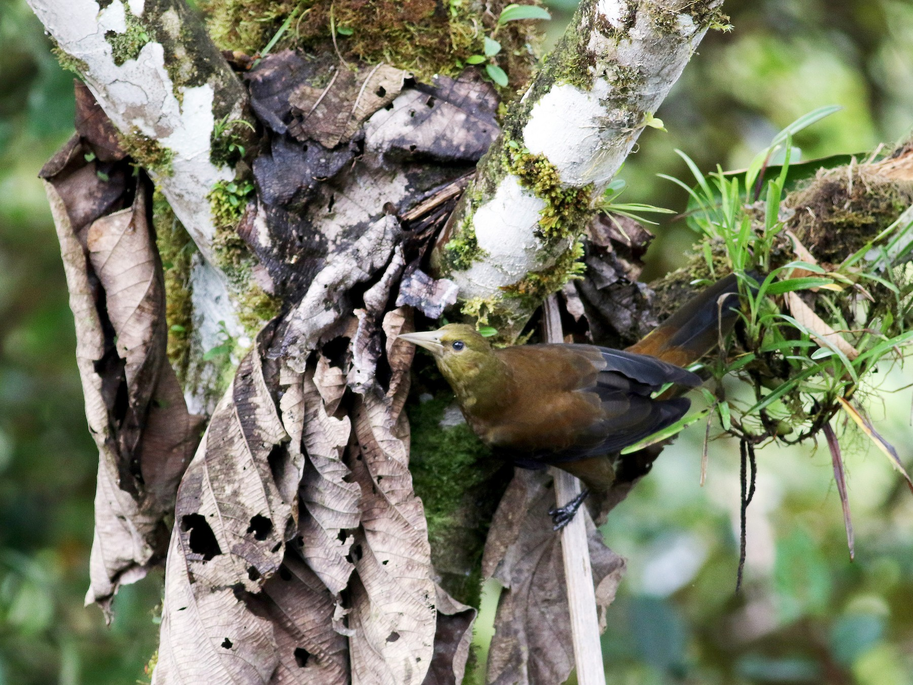 Russet-backed Oropendola - Jay McGowan