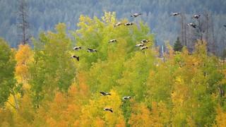 Canada Goose, ML70177031