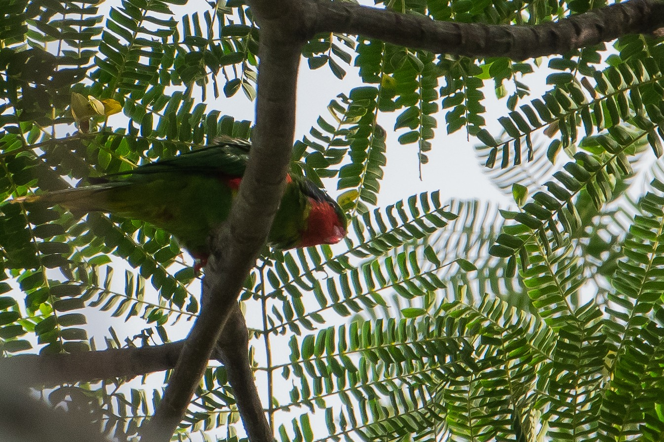 Red-flanked Lorikeet - Bill Bacon