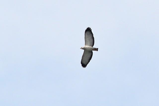 White-necked Hawk