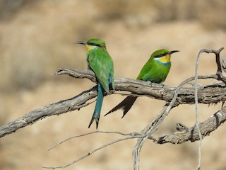 - Swallow-tailed Bee-eater