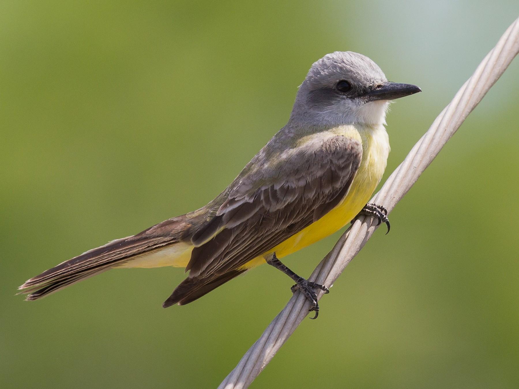 Couch's Kingbird - Darren Clark