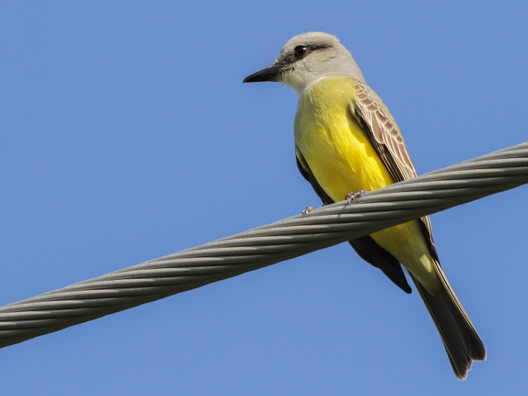 Couch's Kingbird - Ian Davies