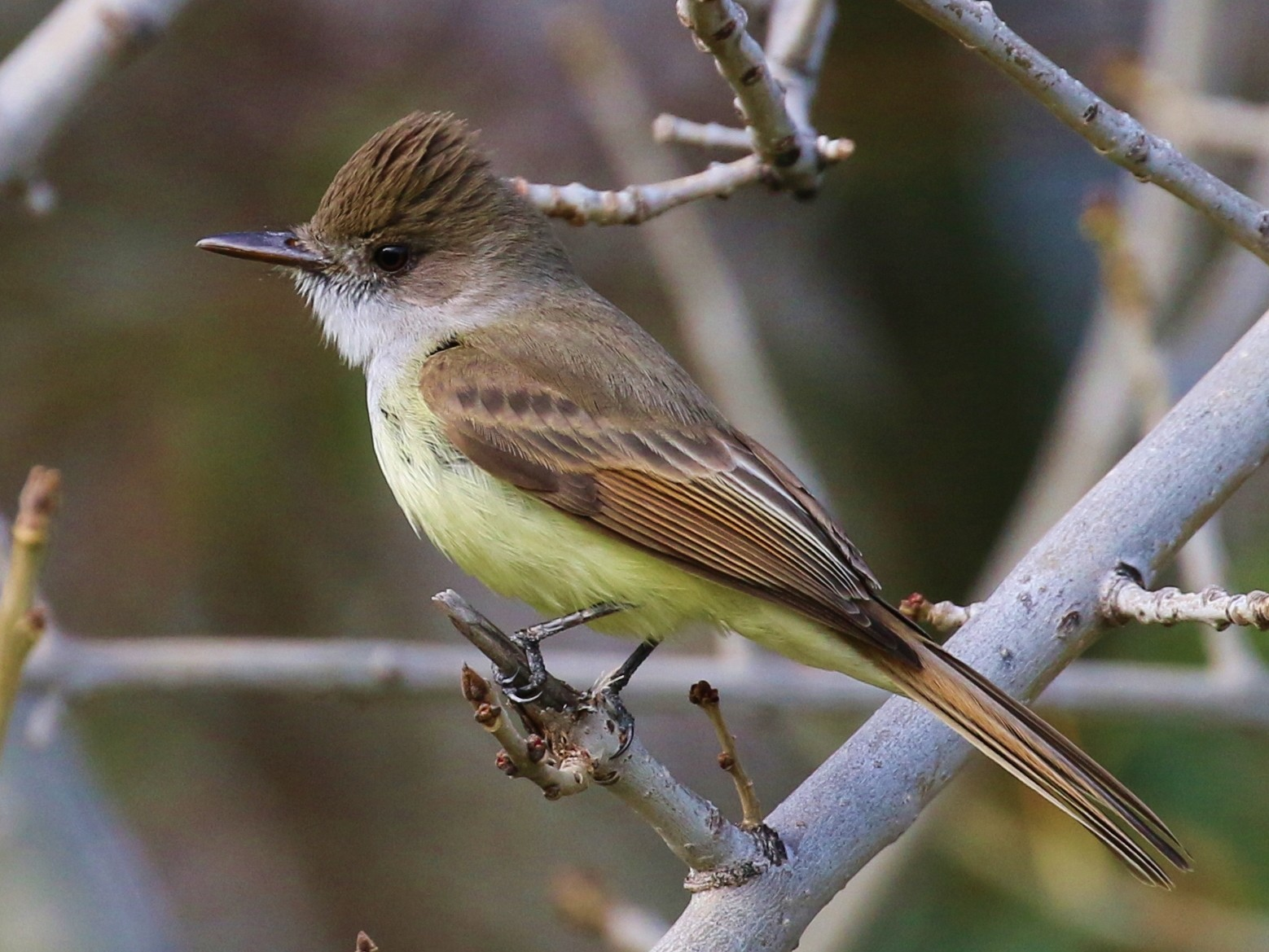 Dusky-capped Flycatcher - Tom Benson