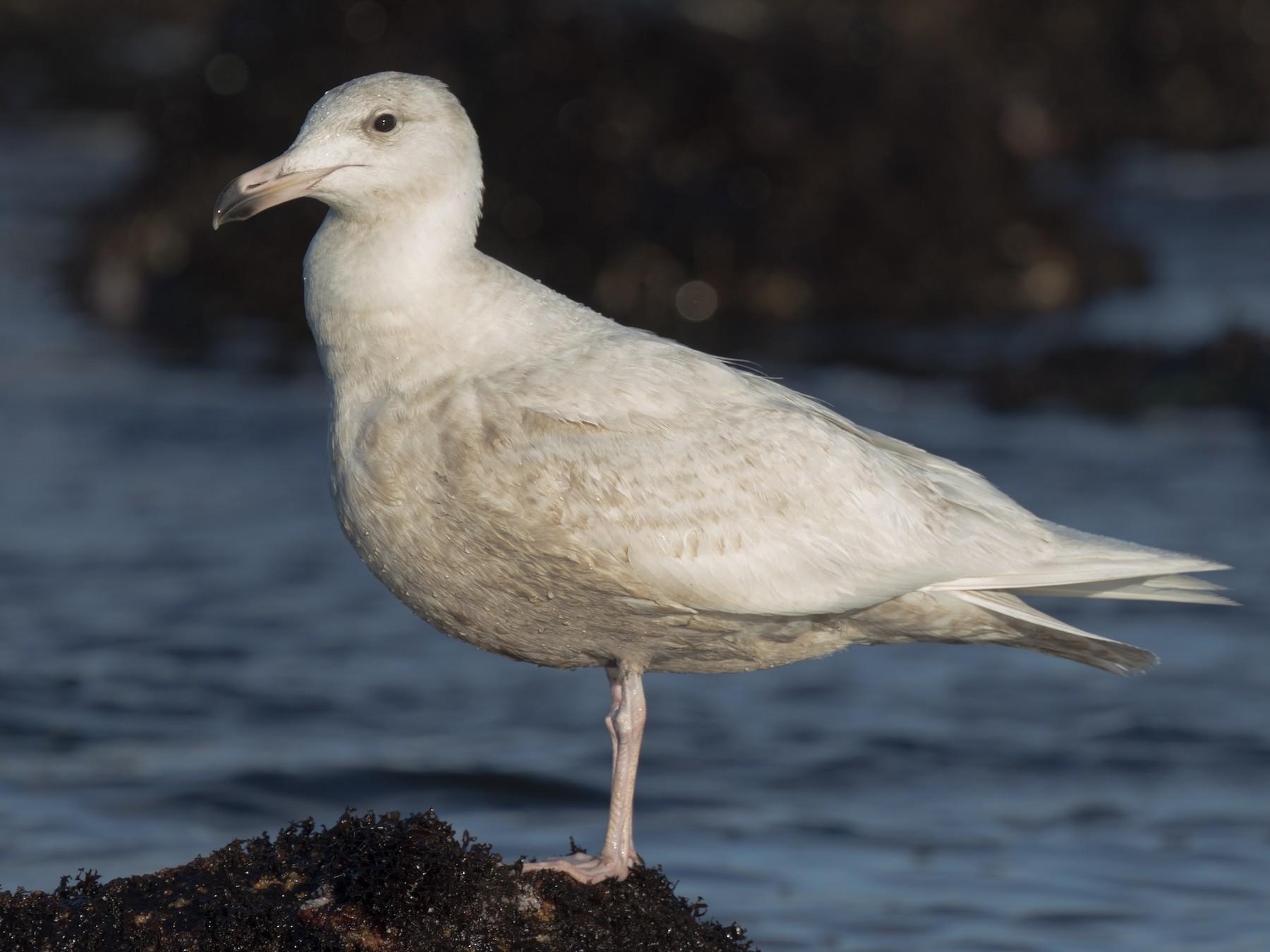 Glaucous Gull - Steve Kelling