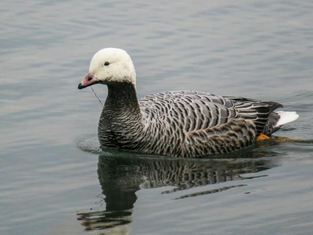 Emperor Goose - Brian Pendleton