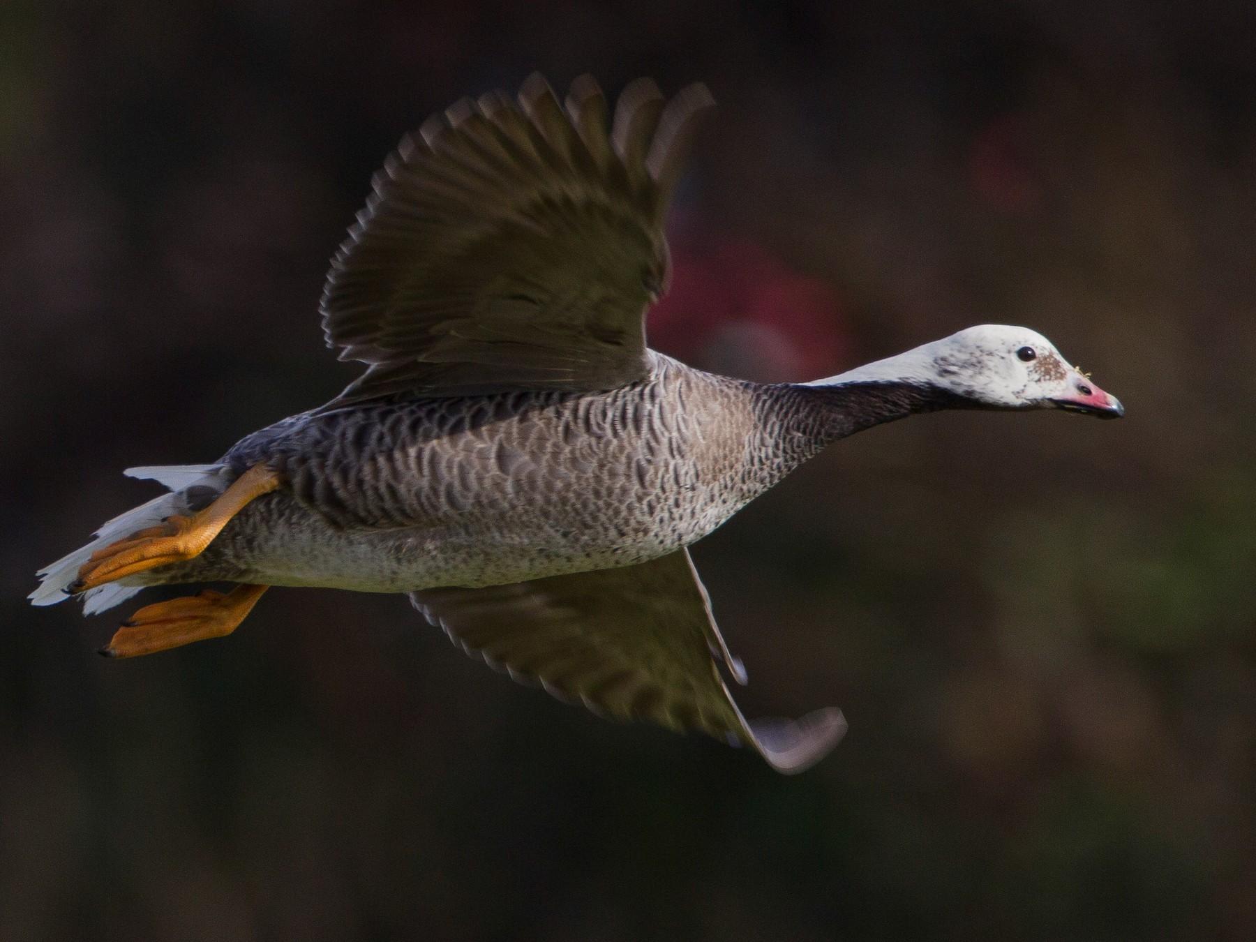 Emperor Goose - Jeffrey Moore