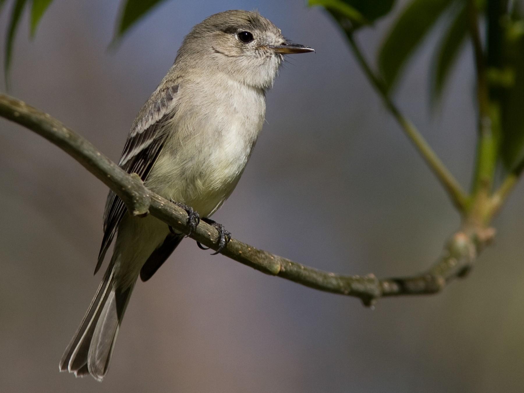 Gray Flycatcher - Brian Sullivan