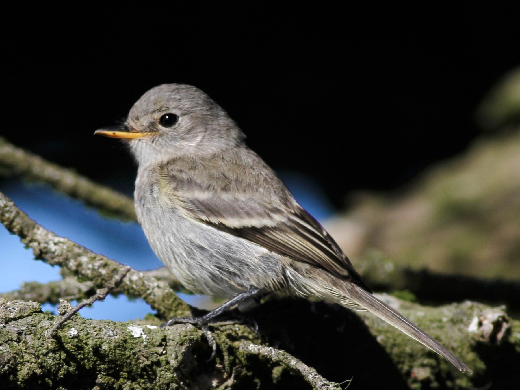 Gray Flycatcher - Dan Maxwell