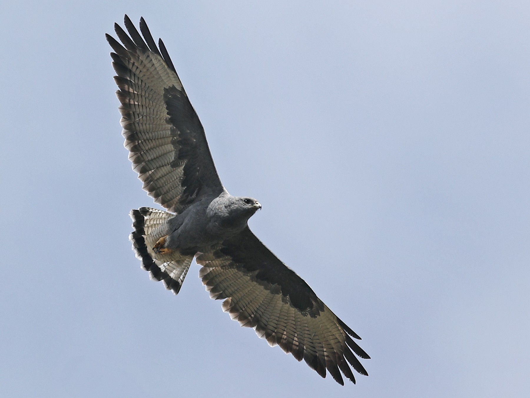 Variable Hawk - Graham Montgomery