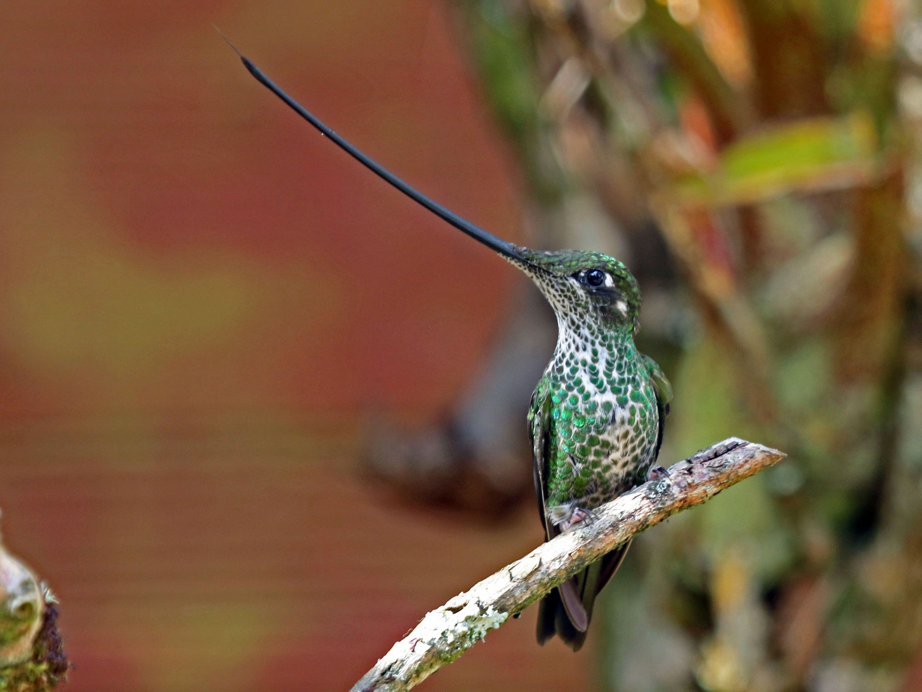 Sword-billed Hummingbird - Joan and/or George Sims