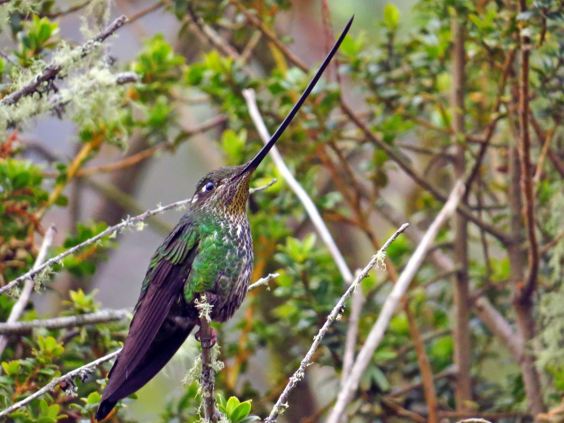Sword-billed Hummingbird - Bryant Olsen
