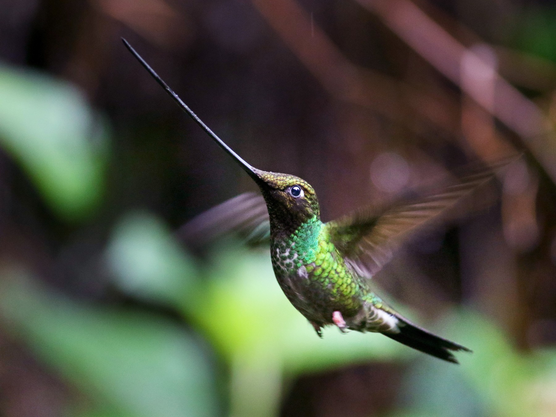 Sword-billed Hummingbird - Jay McGowan