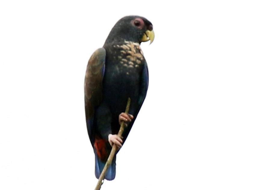 Bronze-winged Parrot - Matthew Grube
