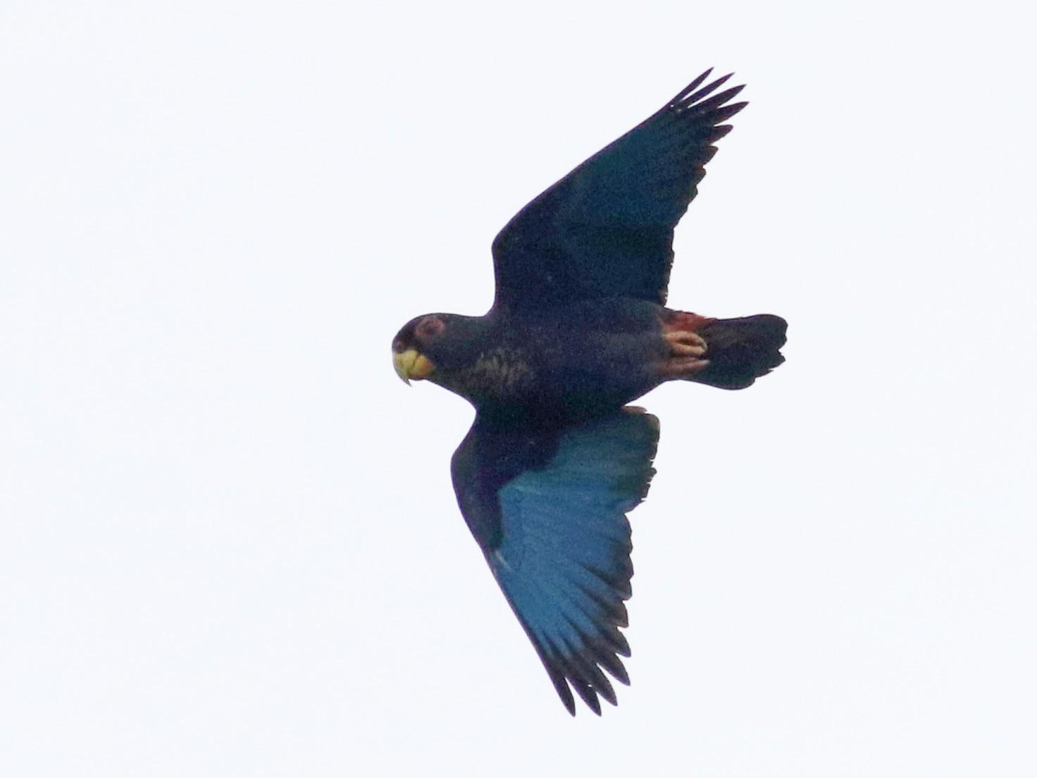 Bronze-winged Parrot - Jay McGowan