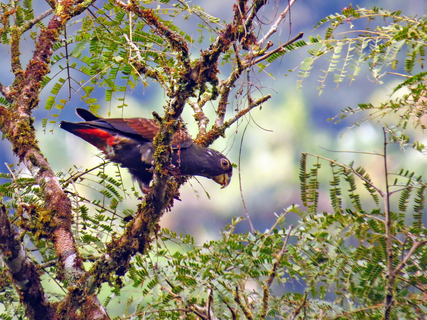 Bronze-winged Parrot - Jorge Muñoz García   CAQUETA BIRDING