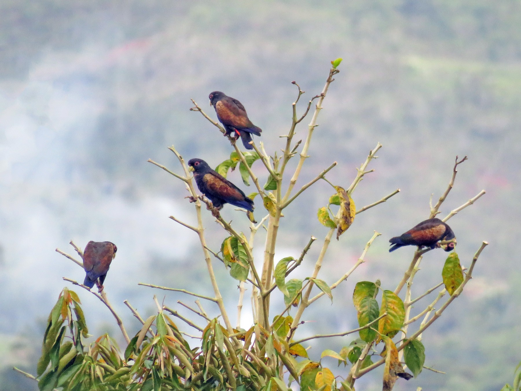 Bronze-winged Parrot - Juan Pablo Arboleda