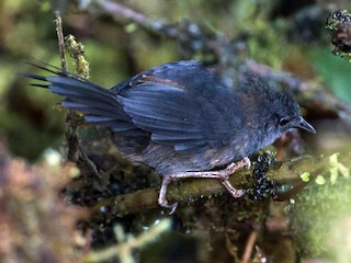 - Ash-colored Tapaculo