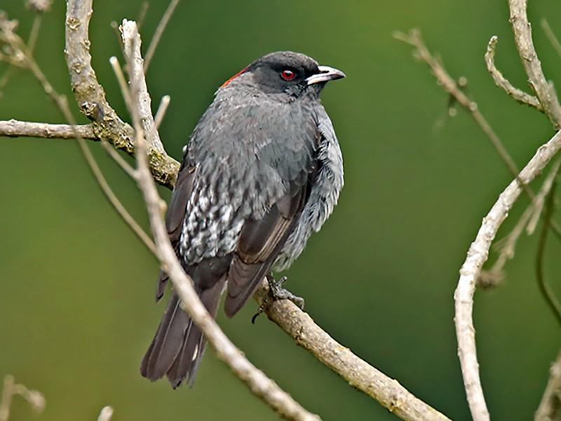 Red-crested Cotinga - Roger Ahlman